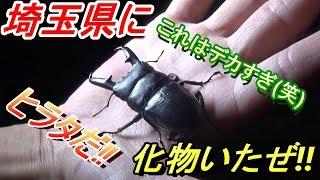 巨大ヒラタクワガタ発見!!の巻