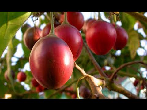 Como Funciona la Siembra y Cosecha de Tomate de Árbol - TvAgro por Juan Gonzalo Angel