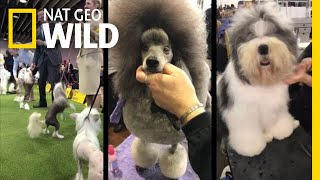 See Westminster Dog Show Contestants Get Pampered Behind the Scenes | Nat Geo Wild