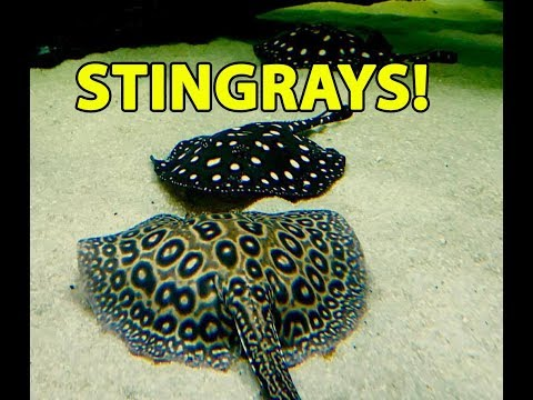 Freshwater Stingrays with the King of DIY!