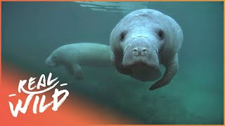 Can We Save Manatees And Dugongs From Extinction? | The Blue Realm | Real Wild Documentary