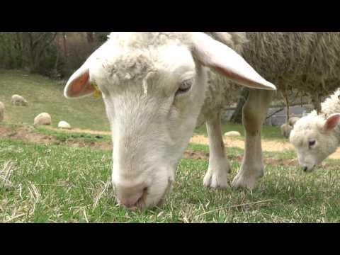 , title : '4K 六甲山牧場「羊中心」