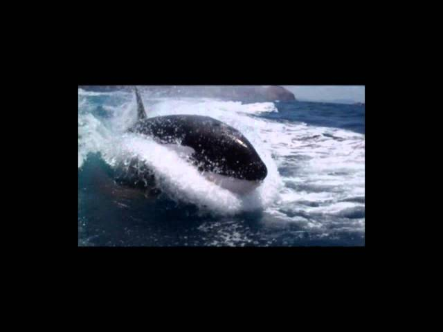 """Surfing Killer Whales"" - Rich and Laura Howard Oceans Of Images"