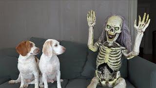 Dogs Scare Skeleton! Funny Dogs Maymo & Potpie vs Skeleton Prank