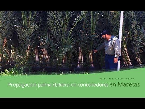 Propagación de palma datilera en contenedores (macetas)