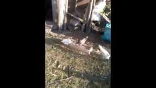 Куры , цыплята 1 месяц
