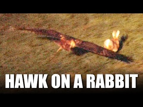 Hawking Rabbits with a Redtail