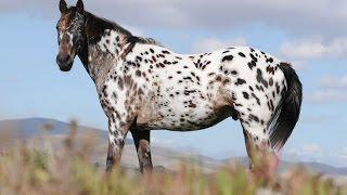 Amazing Horse - Appaloosa Horses