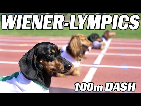 Watch These Adorable Little Dachshunds Run a 100m Dash
