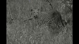 SafariLive- Amazing! New female Leopard Luna and Tlalamba!