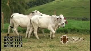 Bovino Corte Brahman Novilha 16-20@ - e-rural Imagens