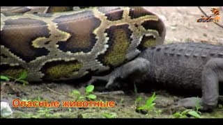 Wild Fauna #Первая тройка самых опасных животных #Голодные игры