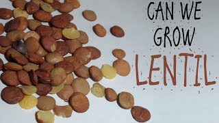 CAN WE GROW LENTIL /FROM SEEDS/