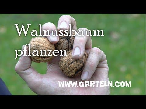 Walnuss pflanzen - Tipps für den eigenen Walnussbaum