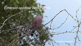 Emerald-spotted Wood-Dove call