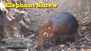 Elephant Shrew at Blijdorp Zoo
