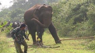 Huge elephant captured by wildlife officers !