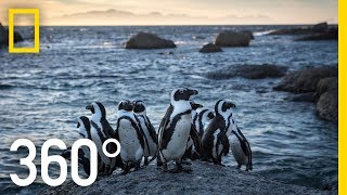 Endangered Penguins of South Africa 360 | National Geographic
