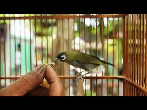 Video Resep Makanan Khusus Untuk Burung Pleci Biar ngeplong Suara keras