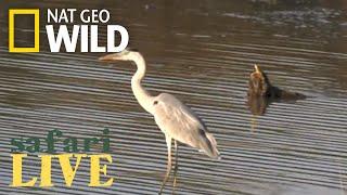 Safari Live - Day 177   Nat Geo Wild