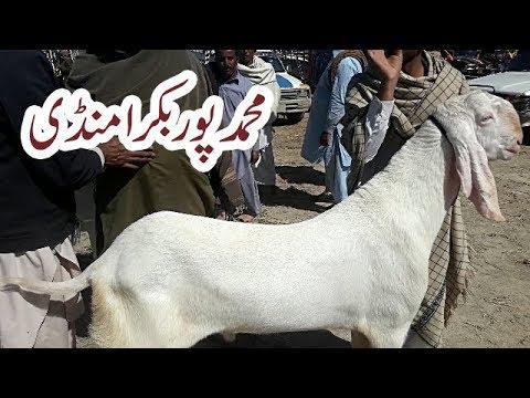 Rajan Puri breeder 03176205675Rajan Puri bakra for sale