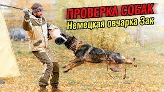 Внезапная атака на хозяина | Проверка собаки: Немецкая овчарка Зак