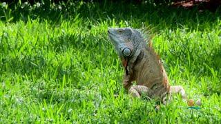 Green Iguanas Turning South Florida Into Jurassic Park