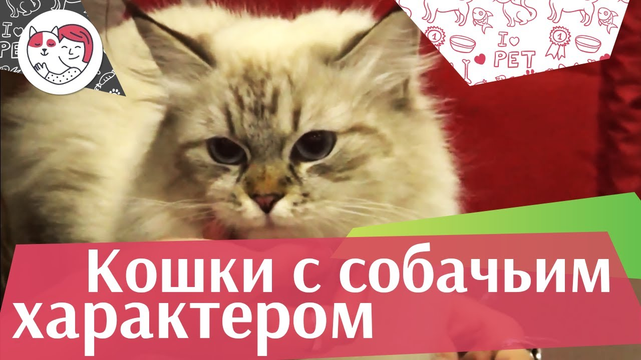 5 пород кошек с собачьим характером на ilikepet
