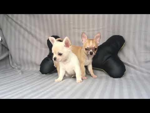 Vendita chihuahau - cuccioli pelo corto e lungo - allevamento/pedigree