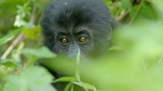 Silverback Gorilla Fight | Gorilla Family and Me | BBC Earth