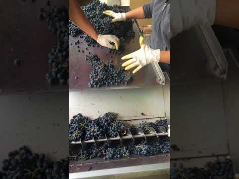 Khashmi' Saperavi grapes sorting and processing