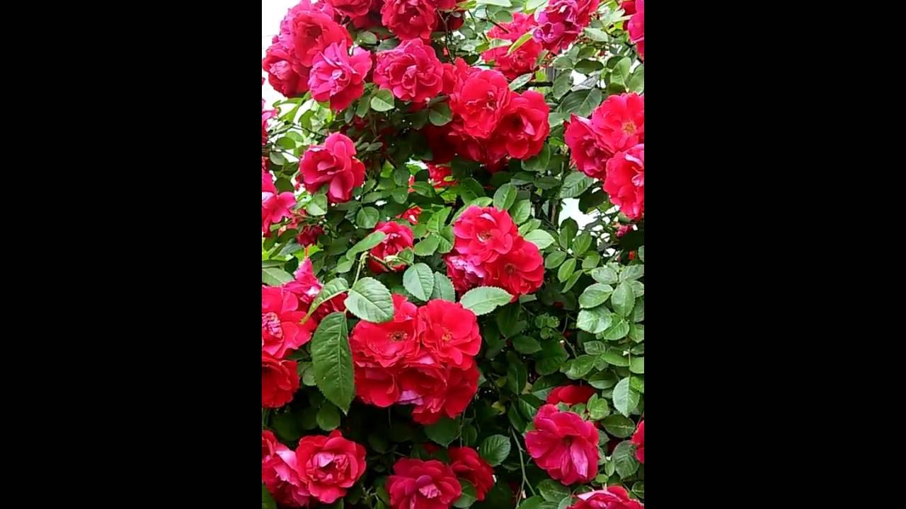 Плетистая роза Фламментанц в период цветения!!!!(Rose Flammentanz)