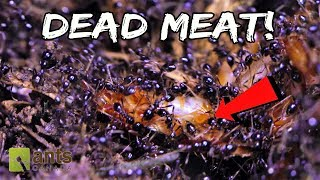 Marauder Ants vs. Cockroach