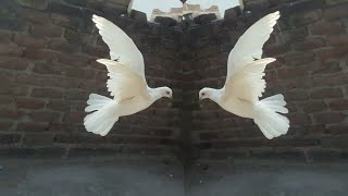 How to train new male pigeon come back to home Hindi/Urdu - Most