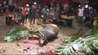 preview picture of video 'Killing of Water Buffalo (karbouw or kerbau)'