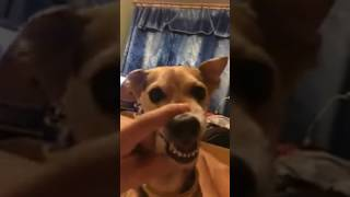 Dog sings lalalala