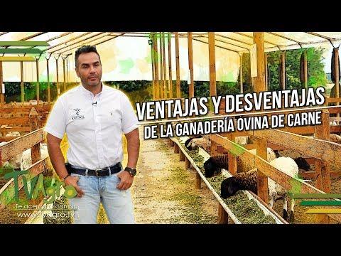 Fotograma del vídeo: Ventajas y desventajas de la ganadería ovina de carne. Corderos