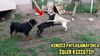 KEMİĞİ PAYLAŞAMAYINCA HADES DİABLO 'YA ATAR YAPTI!! - Pitbull Ailesi TV