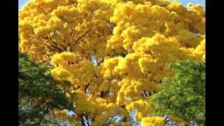 Ipê-amarelo trees