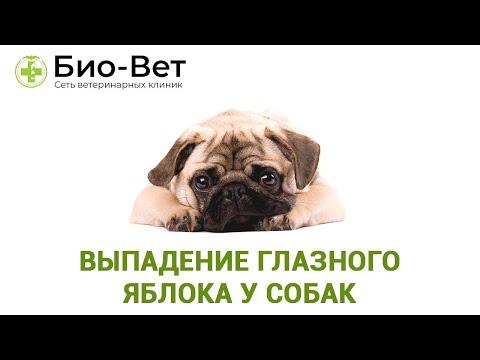 Выпадение глазного яблока у собак. Ветеринарная клиника Био-Вет.