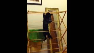 Cat Olympics on a clothes drying rack