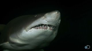 Cannibalistic Baby Sharks | Top Ten Sharkdown