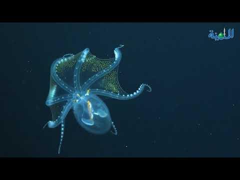 أخطبوط شفاف.. في أرخبيل جزر فينيكس
