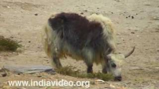 Yaks in the Himalayan Valley