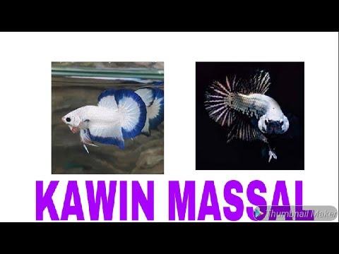 Unduh 990 Gambar Ikan Cupang Blue Rim HD Terbaik