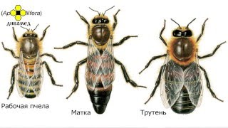 Основы пчеловодства. Урок 1: введение для начинающих.