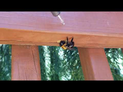 Carpenter Bees Boring into Deck in Howell, NJ