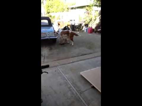 4 Week Old Saint Bernard Puppies Living in Sacramento CA 95817