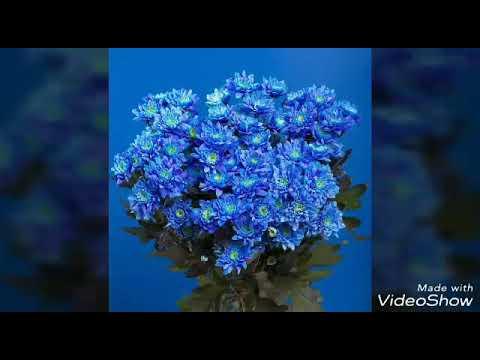 РАЗНОЦВЕТНАЯ ХРИЗАНТЕМА!! Как покрасить цветок в домашних условиях??
