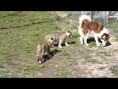 Husky Plays With Lion And Tiger